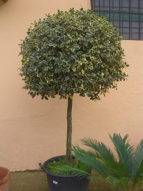 Agrifoglio ilex piante arbusti bacche vivai roma vendita - Alberello da giardino ...