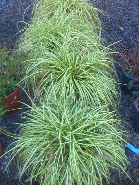 Graminacee erbacee perenni carex piante rustiche da clima for Erbacee perenni