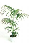 Kentia piante da interno pianta decorativa foglie verdi for Kentia pianta