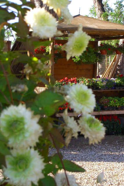 Rampicanti piante arbusti ornamentali fioriture vivaio for Piante rampicanti ornamentali