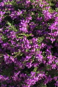 Arbusti da fiore piante ornamentali le loro fioriture for Arbusti fioriti da giardino