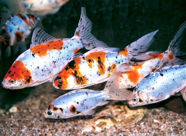 Pesce shubunkin for Alimentazione pesci rossi laghetto