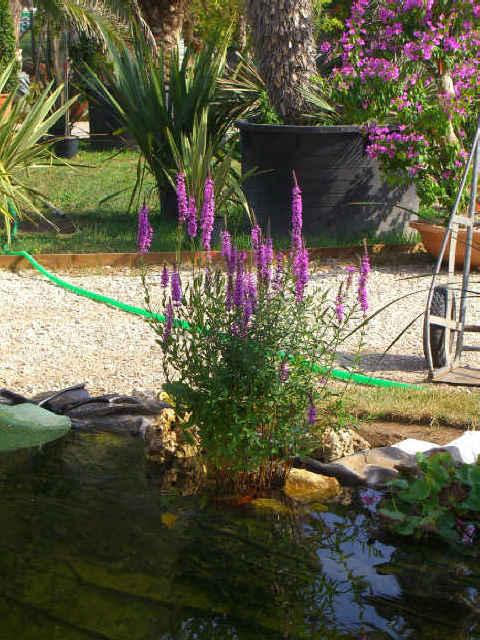 Piante acquatiche ossigenanti palustri vivavio sommerse for Piante laghetto