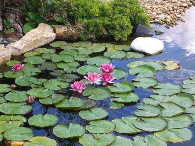 Piante acquatiche ossigenanti palustri vivavio sommerse for Immagini di laghetti artificiali