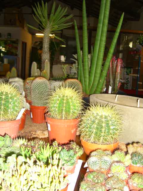 Piante grasse vivaio cactacee succulente pianta grassa for Vasi piante grasse