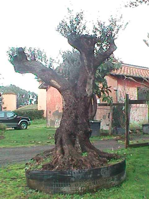 Ulivi secolari da giardino idee per la casa for Vendita piante olivi
