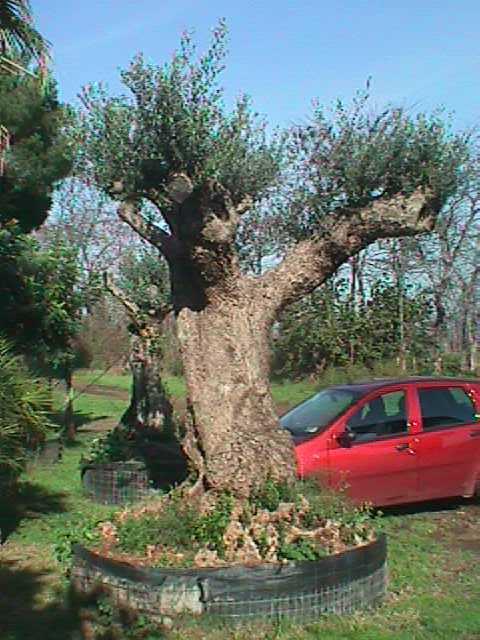 olivo ulivi piante centenarie secolari esemplari unici