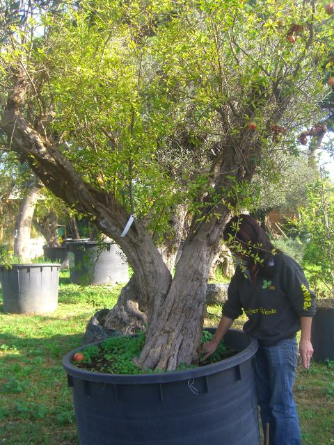 melograni secolari vivaio roma vendita piante esemplari