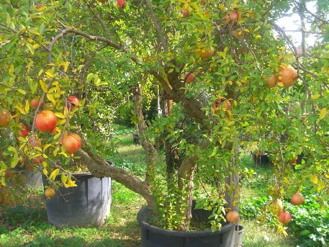 Melograni secolari vivaio roma vendita piante esemplari for Vendita alberi da frutto adulti