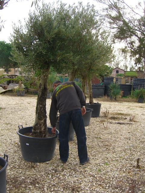 Piante Ulivo Prezzi : Olivi secolari ulivi centenari vendita vivai roma