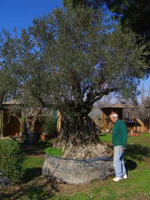 piante olivo prezzi piante olivo prezzi piante olivo