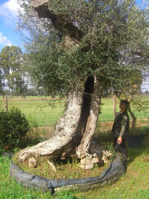 Olivi secolari ulivi olivi centenari vendita vivai roma - Giardino con ulivi ...