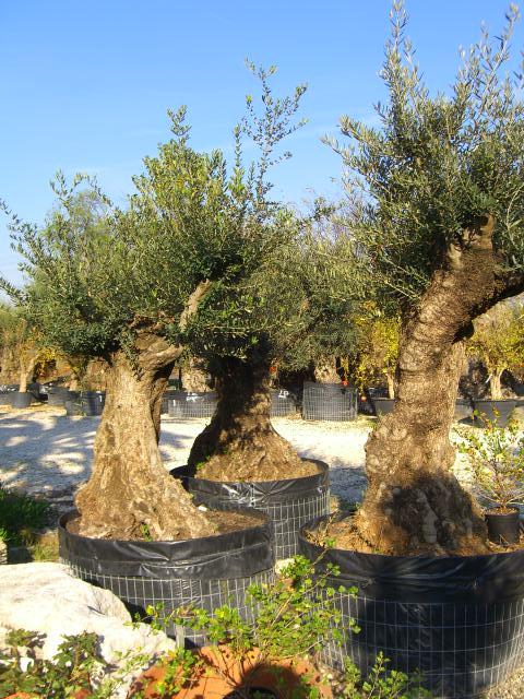 17 piante olivo prezzi piante di olivo da olio alberi