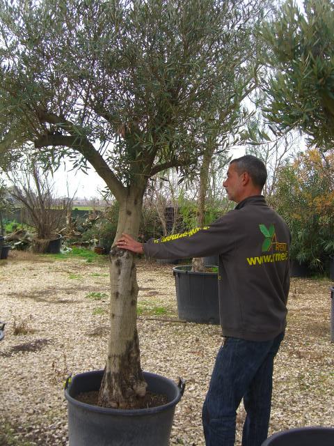 Search results for piante da frutto prezzi black for Piante olivo online