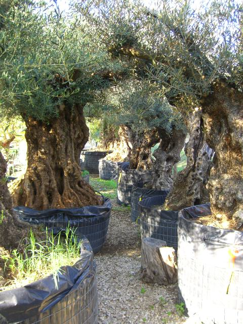 Olivi secolari ulivi olivi centenari vendita vivai roma for Ulivo bonsai prezzo