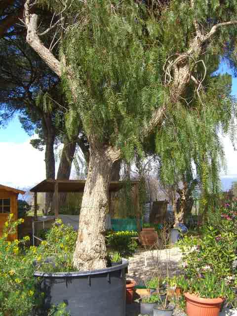 Schinus alberature viavaio piante alto fusto chioma for Piante da giardino sempreverdi alto fusto